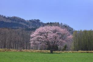 合格の桜の写真素材 [FYI03195943]