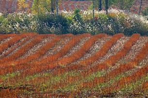 蕎麦の刈り跡とススキの写真素材 [FYI03196510]