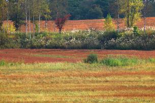 蕎麦の刈り跡とススキの写真素材 [FYI03196514]
