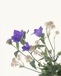 花(キキョウ・アストランティア)の写真素材 [FYI03197140]