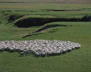 羊の群れ ニュージーランドの写真素材 [FYI03197169]