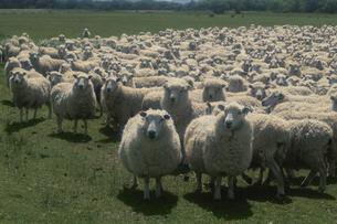 羊の群れ ニュージーランドの写真素材 [FYI03197186]