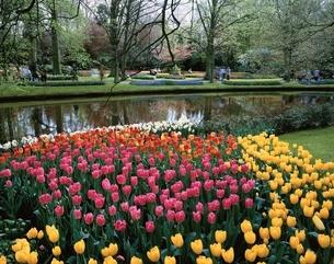 キューケンホフ公園のチューリップ リッセ郊外 オランダの写真素材 [FYI03198018]