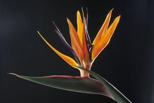 ストレリチア(ゴクラクチョウ)の花のアップの写真素材 [FYI03198115]