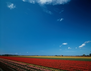 キューケンホフのチューリップ畑  オランダの写真素材 [FYI03198271]