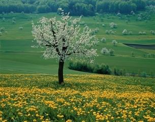 桜の咲く木 チューリッヒ郊外 スイスの写真素材 [FYI03198352]