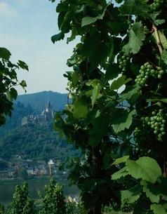 コッヘム城とぶどう畑 ドイツの写真素材 [FYI03198382]