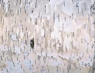 白樺の写真素材 [FYI03198525]
