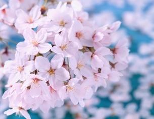 桜の花のアップの写真素材 [FYI03198603]