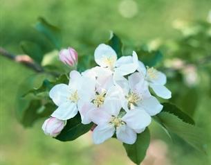 リンゴの花の写真素材 [FYI03198641]