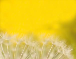 たんぽぽの穂の写真素材 [FYI03198855]