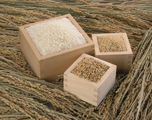 稲穂とマスに入った白米と玄米の写真素材 [FYI03199256]