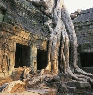 巨木とタプロムの遺跡 カンボジアの写真素材 [FYI03199726]
