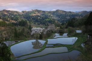 山間の桜と棚田夕景の写真素材 [FYI03200076]