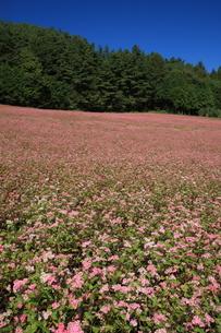 赤そば畑の写真素材 [FYI03200088]