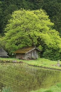 柿の大木と棚田の写真素材 [FYI03200187]