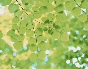 新緑のかつらの葉の写真素材 [FYI03200548]