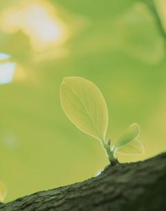 新芽と緑の写真素材 [FYI03200549]