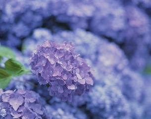 紫のアジサイの写真素材 [FYI03200574]