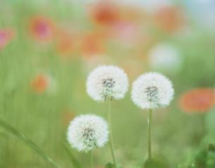 草むらに生えるタンポポの綿毛の写真素材 [FYI03200577]
