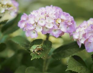 アジサイの花と葉に座るカエルの写真素材 [FYI03200580]
