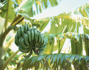 木になる緑色のバナナ 沖縄県の写真素材 [FYI03200598]