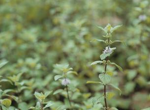 ハーブの植物(ジンジャーミント)の写真素材 [FYI03201003]