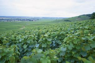 ぶどう畑の田園風景 ブルゴーニュ フランスの写真素材 [FYI03201052]