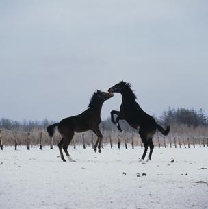 2頭の後ろ足立ちの馬の写真素材 [FYI03201098]