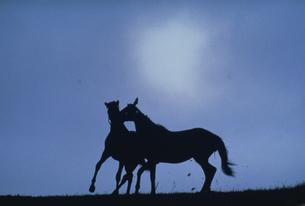 2頭の馬のシルエットの写真素材 [FYI03201114]