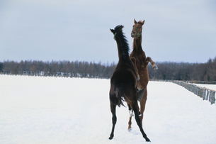 雪原の後ろ足立ちの2頭の馬の写真素材 [FYI03201132]