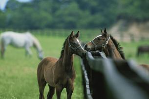 柵越しの2頭の馬の写真素材 [FYI03201149]
