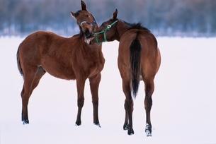 2頭の馬の写真素材 [FYI03201164]