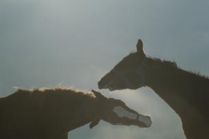 2頭の馬の写真素材 [FYI03201183]