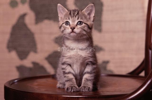 イスの上の仔猫の写真素材 [FYI03201317]
