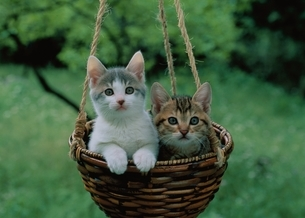 草原のカゴの中の2匹のネコの写真素材 [FYI03201325]