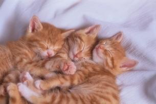 シーツの上で寝る3匹の子猫の写真素材 [FYI03201335]