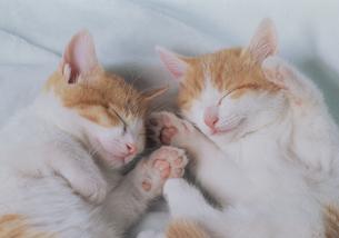 仰向けで寄り添って眠る2匹の猫の写真素材 [FYI03201357]
