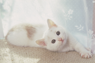 じゅうたんのうえに寝転ぶ子猫の写真素材 [FYI03201384]