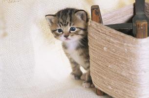 糸巻きの側にいる子猫の写真素材 [FYI03201385]