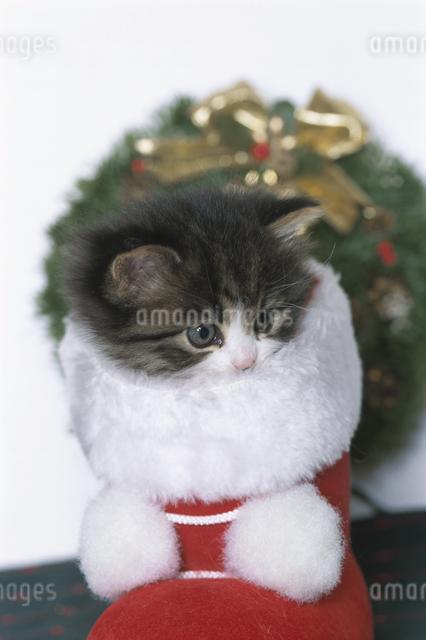 クリスマスの子猫の写真素材 [FYI03201387]