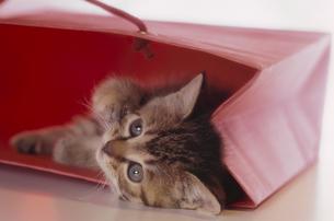 紙袋に入っている子猫の写真素材 [FYI03201395]