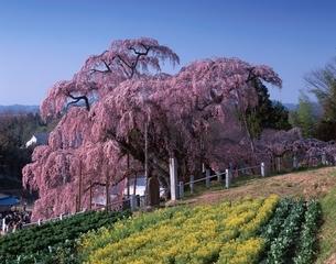 三春の滝桜と菜の花  福島県の写真素材 [FYI03201522]