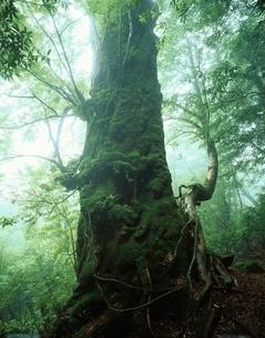 奉行杉(樹高24.0m)   屋久島 鹿児島県の写真素材 [FYI03201541]
