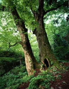 熊野の大トチ(国指定天然記念物) 西城町 広島の写真素材 [FYI03201554]