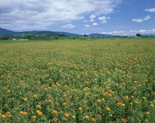ベニバナの花畑 河北町 山形県の写真素材 [FYI03201557]
