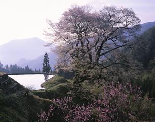 駒つなぎのサクラ   阿智村 長野県の写真素材 [FYI03201624]