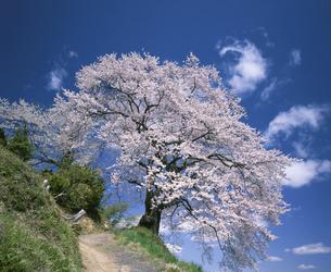桜の木の写真素材 [FYI03201649]