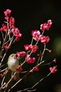 梅にウグイス 2月の写真素材 [FYI03201762]