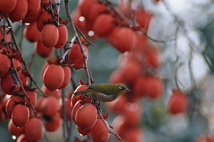 柿とメジロ 2月の写真素材 [FYI03201770]